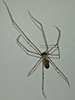 Pholcus phalangioides - Longbodied Cellar Spider