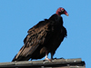 Cathartes aura septentrionalis - Eastern Turkey Vulture