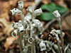 Monotropa uniflora - Ghost Plant, Indian Pipe