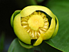 Nuphar advena - Yellow Pond Lily, Spatterdock
