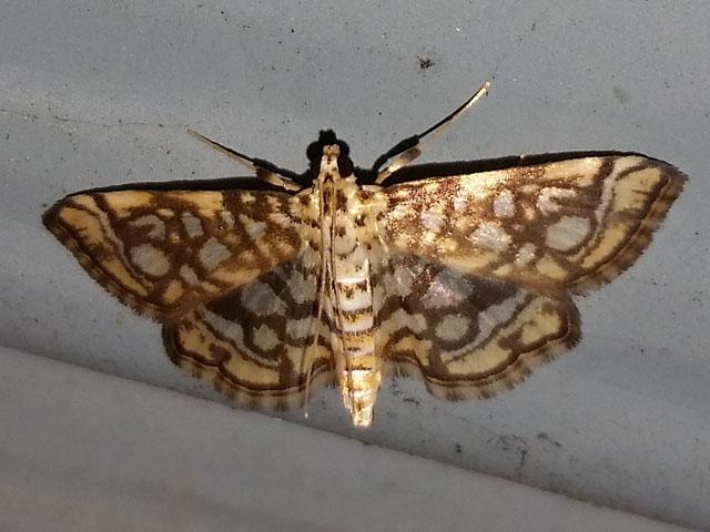 L.rivulalis.20150721-01.jpg