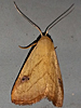 Rivula propinqualis - Spotted Grass Moth