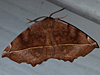 Eutrapela clemataria - Curve-toothed Geometer