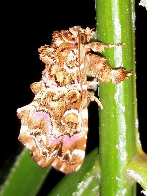C.mollissima.20140530-01.jpg