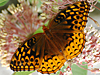 Speyeria cybele cybele - Great Spangled Fritillary