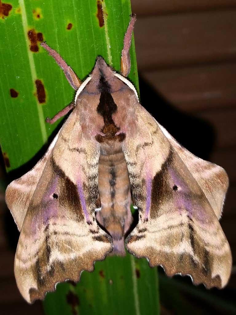 P.excaecata.20160617-01.jpg