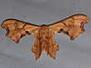 Calledapteryx dryopterata - Brown Scoopwing